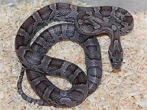 Corn Snake Facts and Pictures Reptile Fact