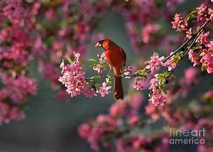 Spring Morning Cardinal Photograph by Nava Thompson
