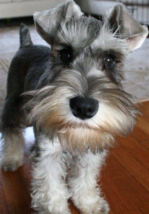 man grey grey  short mini schnauzer schnauzer