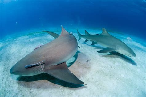 scientists shark dna  hold  key  curing cancer