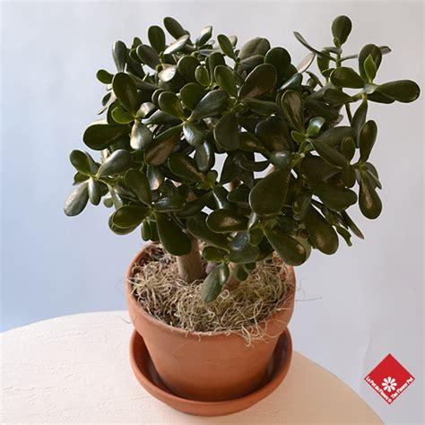 crassula jade  friendship tree  montreal
