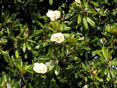 where to plant magnolia tree how to grow a magnolia tree garden guides