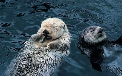 Otter Sea Berang Otters Desktop Charmant Zijn