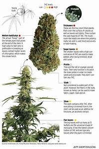 Do You Know The Anatomy Of A Marijuana Plant   U2013 Orange