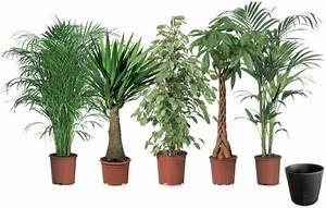 Robuste Zimmerpflanzen Groß : gro pflanzen von toom ansehen ~ Sanjose-hotels-ca.com Haus und Dekorationen