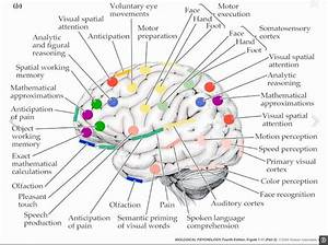 The Human Brain  A Complex Peace Of Art