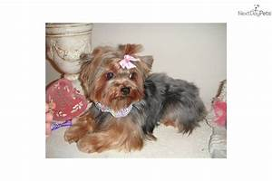 Adult teacup yorkshire terrier