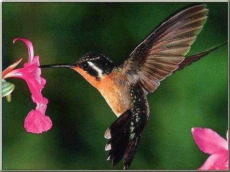hummingbird animal wildlife