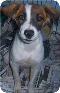 Wyn   Adopted Puppy   Richmond, VA   Border Collie/Jack ...
