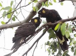 Yellow-tailed Black Cockatoo (Calyptorhynchus funereus ...