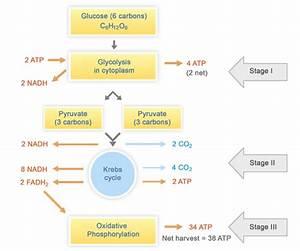 31 Simple Cellular Respiration Diagram
