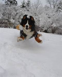 745 best Bernese Mountain Dogs images on Pinterest ...