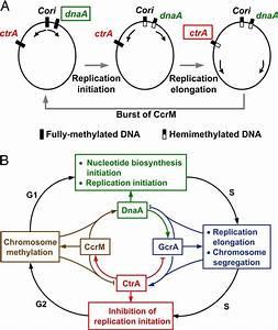 Diagram Bacterial Dna Replication