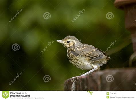 Baby Song Thrush Royalty Free Stock Photography Image