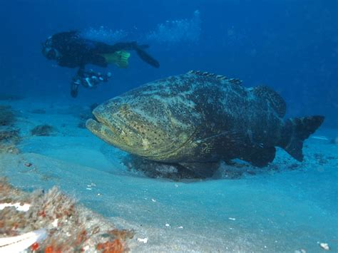 grouper goliath florida fish usa alabama lose protection texas waters possession prohibited mississippi harvest federal both state today padi