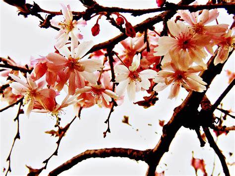 gambar wallpaper cantik bunga sakura stok wallpaper