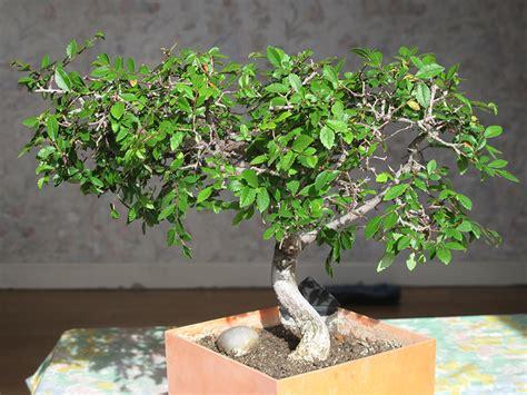 comment choisir un bonsai d int 233 rieur ou d ext 233 rieur bonsai entretien