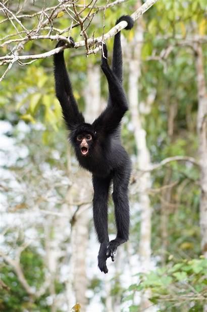 Monkey Spider Animals Wildlife Jungle Funny River