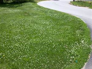 Family Tree and Turf Care®~Weed Control~White Clover