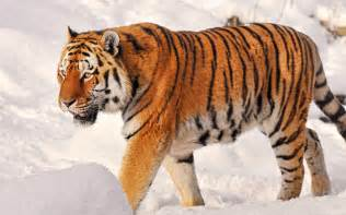 Siberian Snow Tigers Habitat