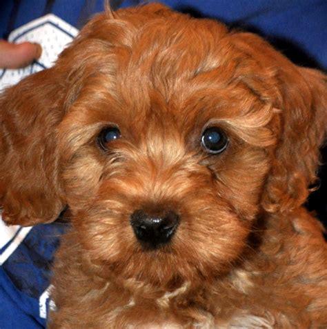 small non shedding dogs non shedding small dogs mixed breeds pet photos