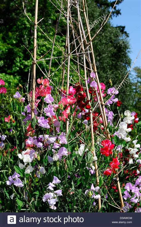 summer flowering climbers lathyrus sweet peas pea grow growing up wigwam plant supports summer stock photo royalty free