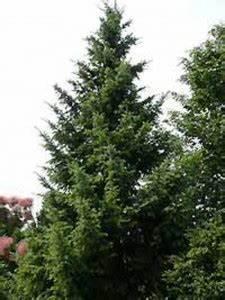 Immergrüne Hecke Ungiftig : ungiftige immergr ne heckenpflanzen gesucht fragen bilder pflanz und pflegeanleitungen ~ Eleganceandgraceweddings.com Haus und Dekorationen