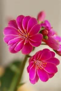 Lewisia Cotyledon Flowers