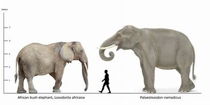 Elephant African Human Palaeoloxodon Namadicus Bush Mammals