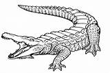 Alligator Coloring Printable Everfreecoloring sketch template
