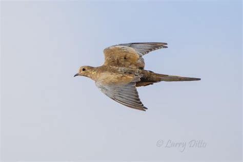 Photographer s Dove Season Larry Ditto Nature Photography