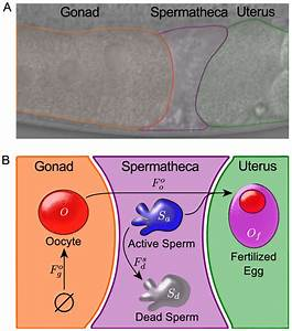 Modeling The Dynamics Of C  Elegans Reproduction  The