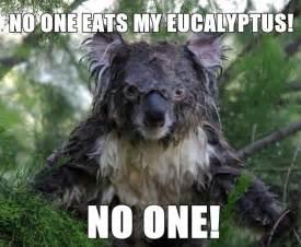 koala craze images  pinterest koala bears
