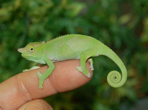 types of chameleons pinterest the world s catalog of ideas