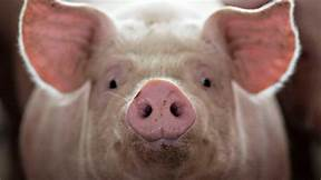 Pig brains partially revived hours after death…