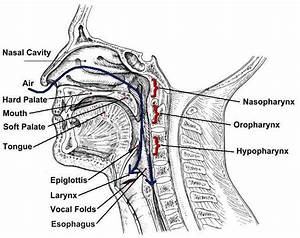 Throat Diagram  U2013 101 Diagrams