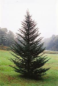 Fraser Fir (Abies fraseri) in Inver Grove Heights ...