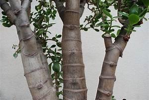 Arbres Fruitiers Nains En Pleine Terre : photos de crassulac es arbre de jade crassula ovata ~ Premium-room.com Idées de Décoration