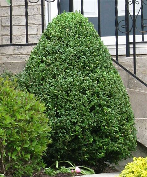 small evergreen shrubs landscape boxwood shrub ideas landscape free engine image for user manual download