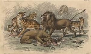 Image Gallery lions fighting youtube