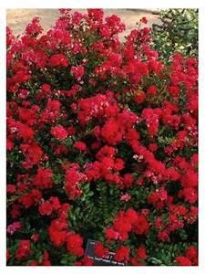 Taille Du Lilas Des Indes : lilas des indes 39 cherry 39 lagerstroemia indica le ~ Nature-et-papiers.com Idées de Décoration