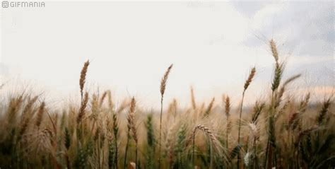 wheat animated gifs gifmania