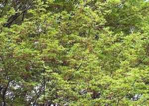 Japanischer Ahorn Im Kübel : acer palmatum palmen ahorn japanischer ahorn ~ Michelbontemps.com Haus und Dekorationen