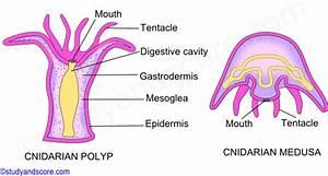 Phylum Cnidaria  Metagenesis