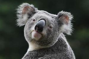 Koala Wallpapers - Wallpaper Cave