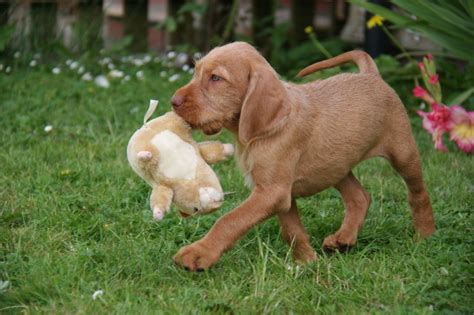 When Do Vizslas Shed Their Puppy Coat by Beautiful Hungarian Wirehaired Vizsla For Sale