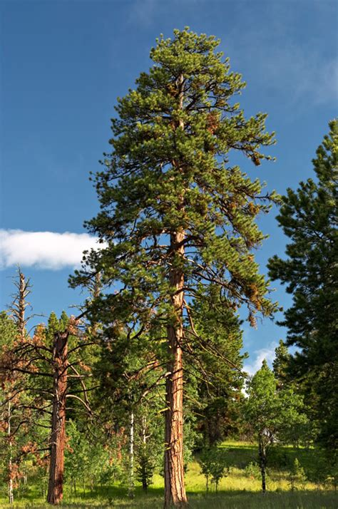 thin box tree in a box ponderosa pine