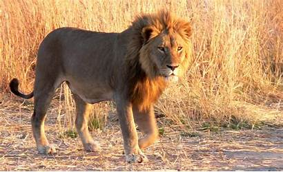 Lion Wallpapers 1080p Types Lions Animals Different