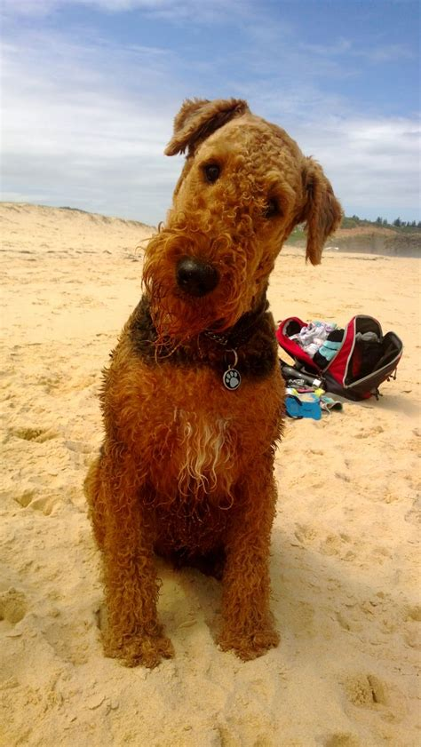 437 best images about i love airedales on pinterest
