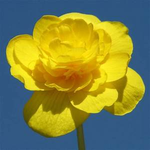 Begonia amarillas :: Imágenes y fotos